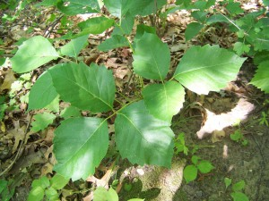 Poison_Ivy_in_Perrot_State_Park